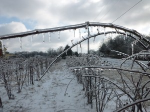 Ice Drips from the dormant organic blackberry vines.  The cold weather and ice of February encapsulated the entire farm