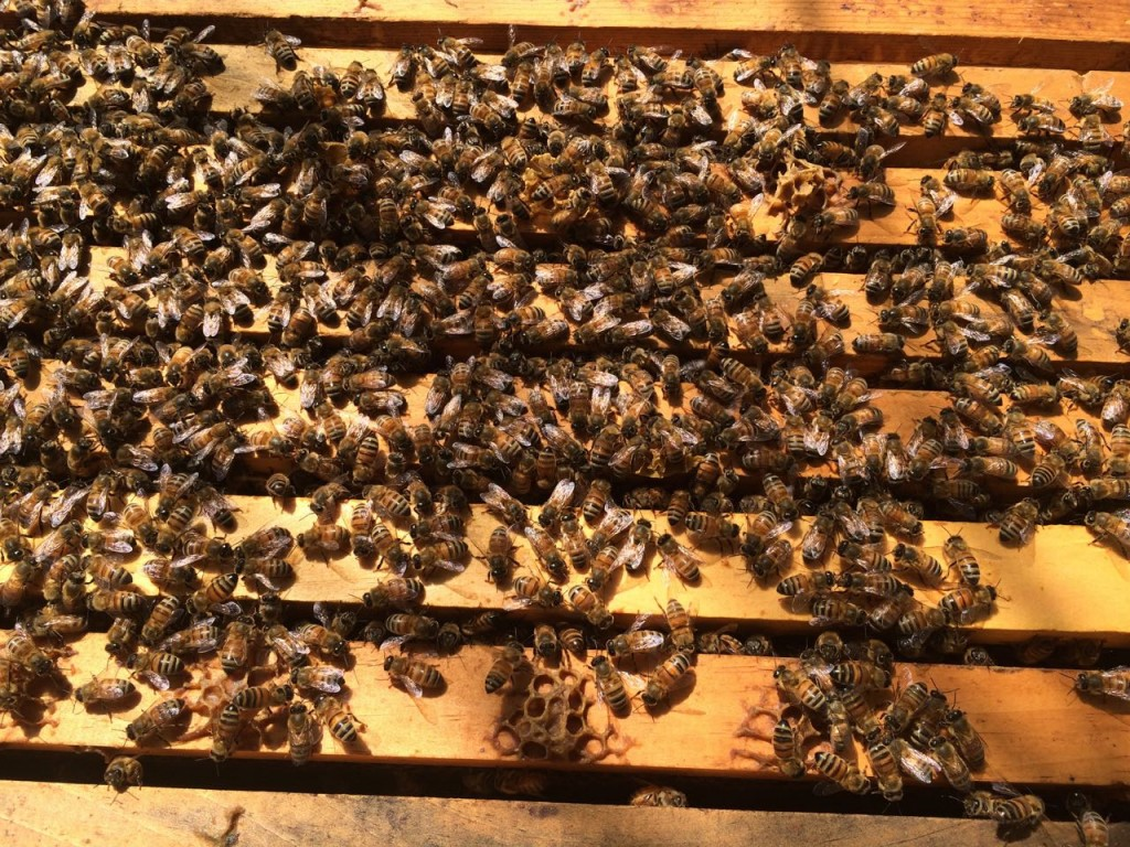 honey bees on top of frames