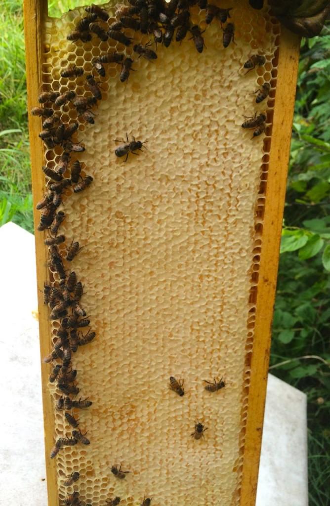 Full frame of capped honey from 2014 harvest.  Spring honey is light color, crisp taste, floral.