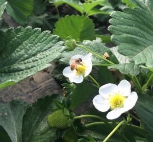 honeybee2015