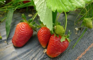 Strawberries grown in our Haygrove tunnels are earliest to season and make their way into the CSA this week.