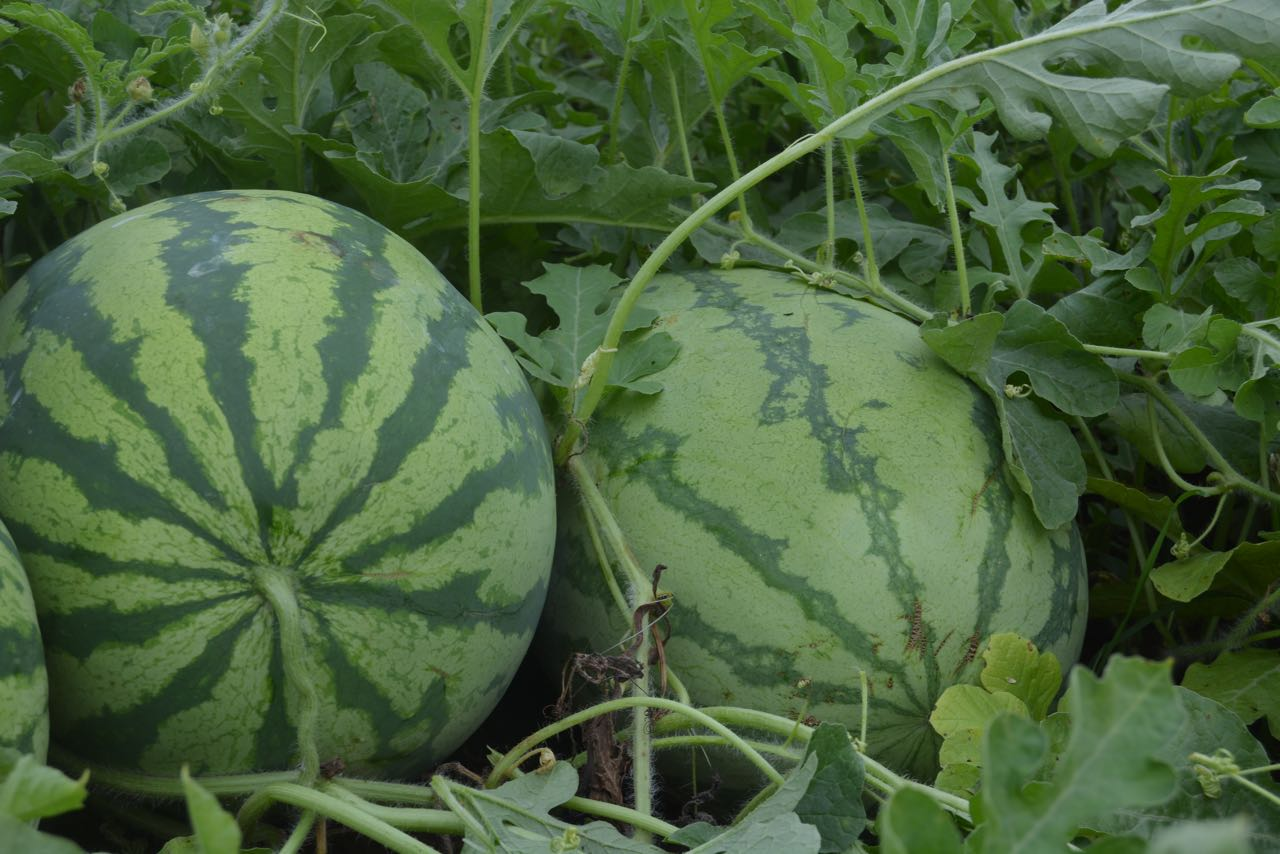 organic watermelon delvin farms 2