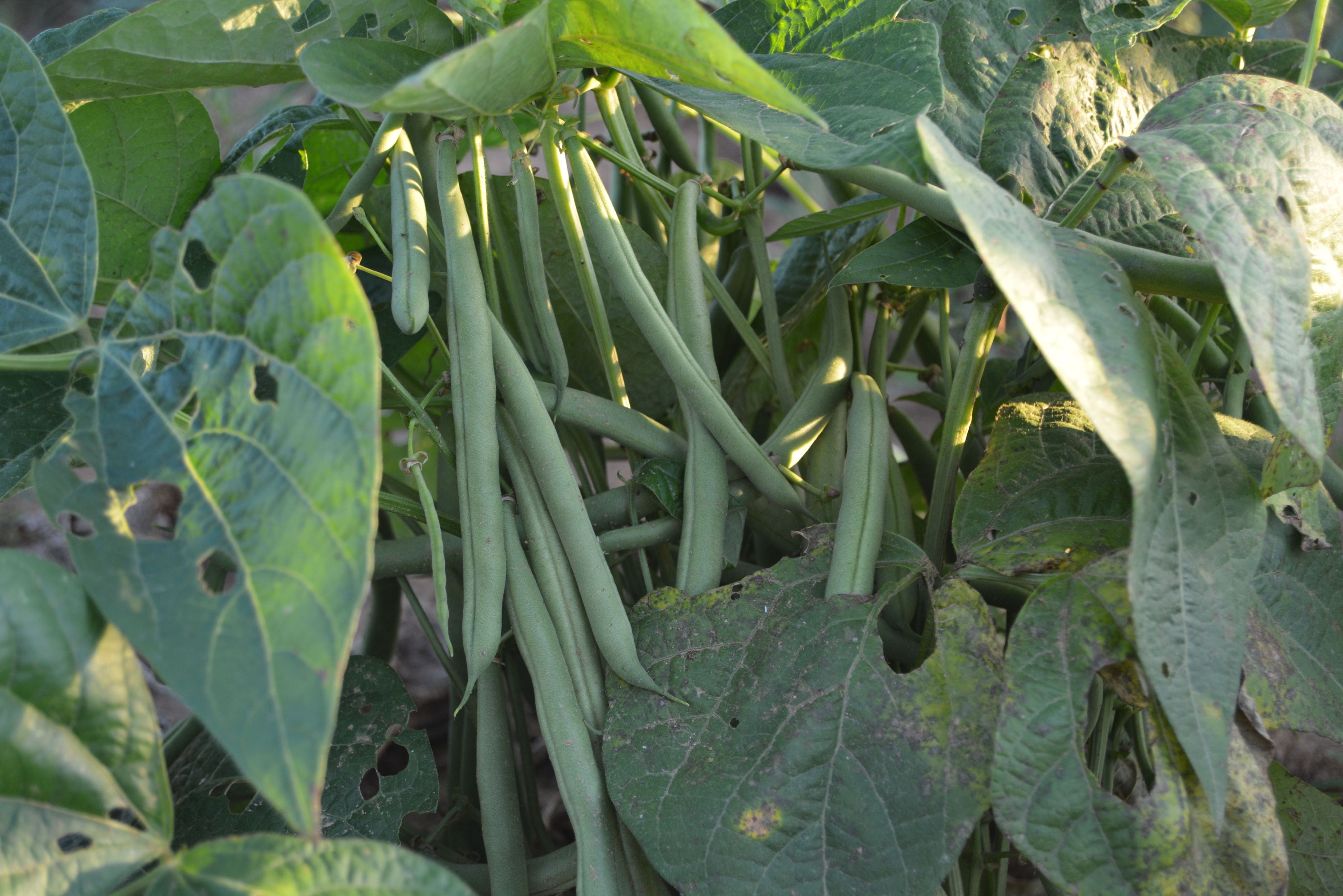 delvin Farms organic green beans
