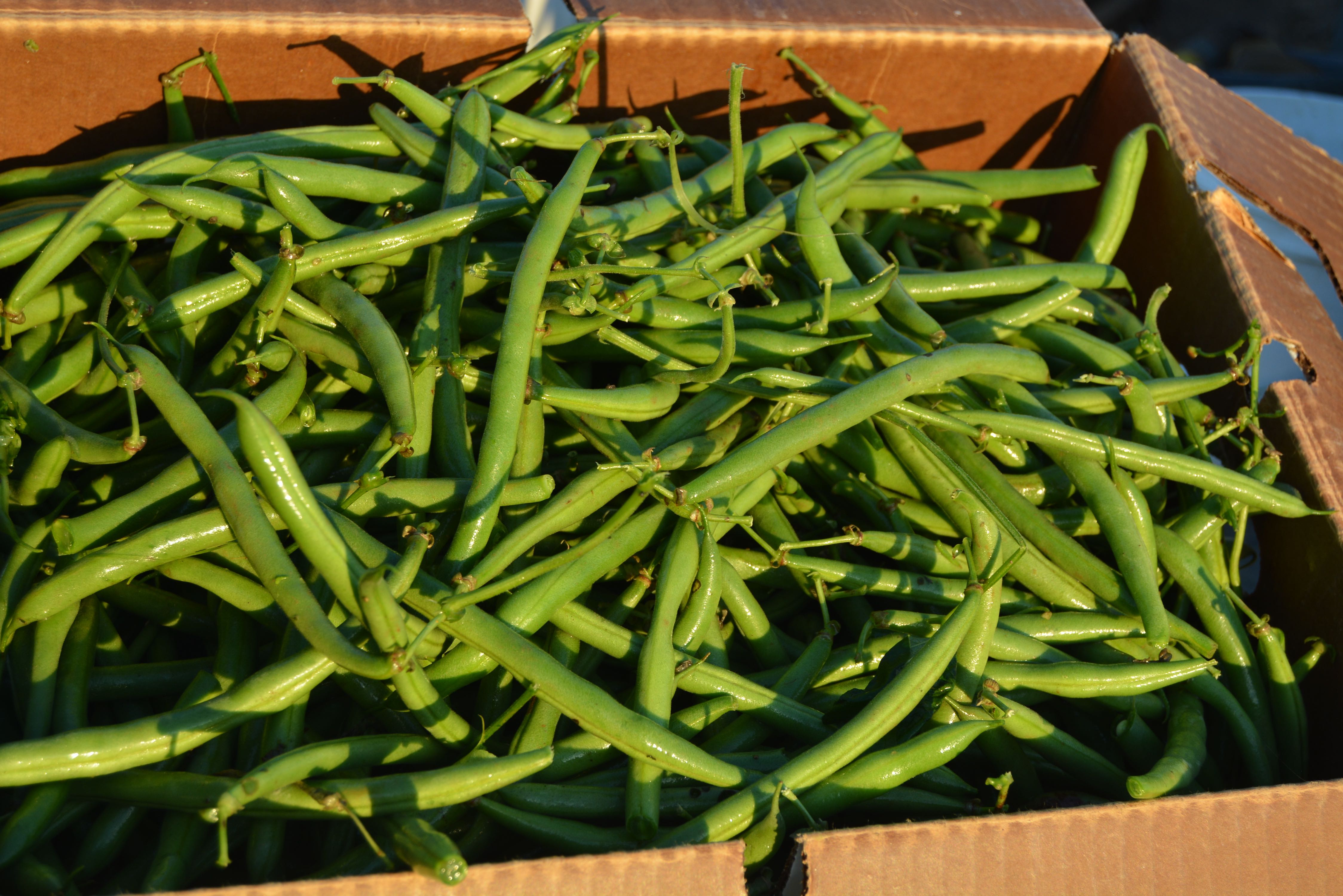 delvin farms green beans