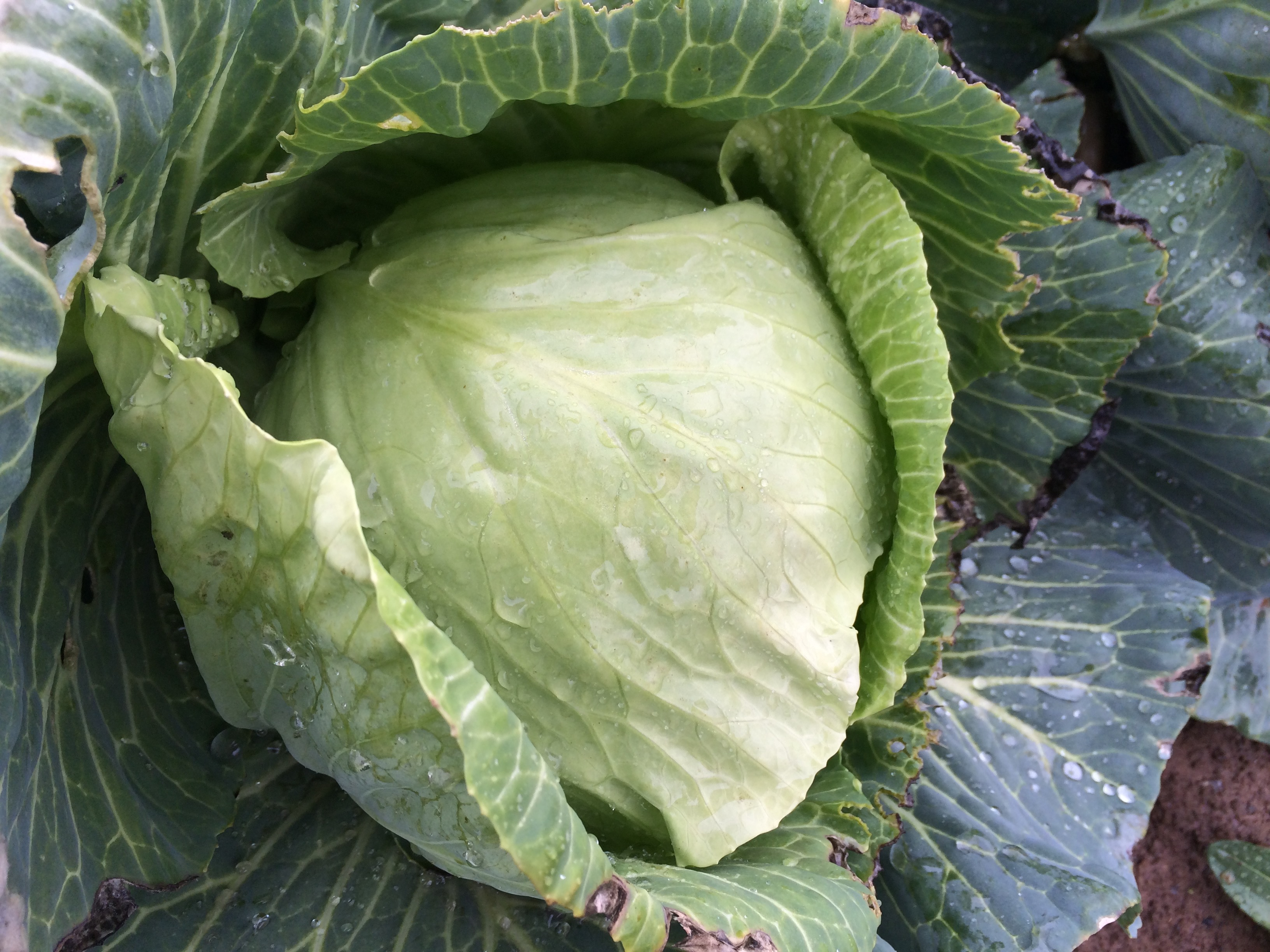 organic cabbage delvin farms